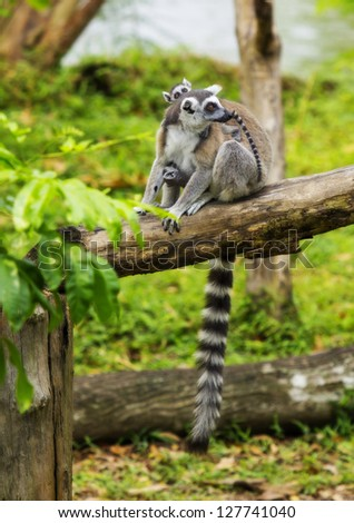 Lemur and the son - stock photo