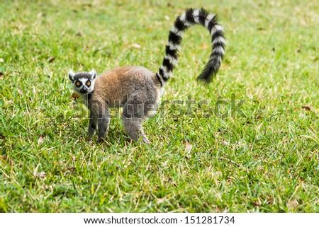 Lemur Catta (Maki) in the Nahampohana reserve, Madagascar - stock photo