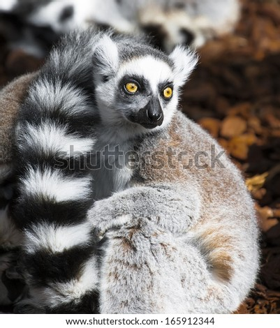 Lemur eyes wide open looking at what is happening around - stock photo
