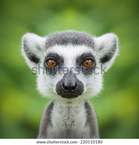 Lemur face close up - stock photo