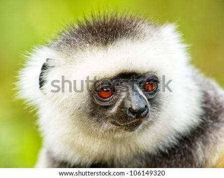 Lemur from Madagascar, King Julian - stock photo