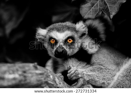lemur in black and white with color eye - stock photo