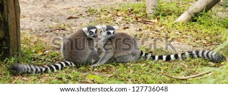 Lemur in love on the flor - stock photo