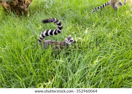 Lemur in the grass, Ring-tailed Lemur (Lemur catta) - stock photo