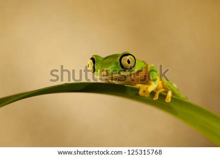 Lemur Leaf Frog (Phyllomedusa Lemur) - stock photo