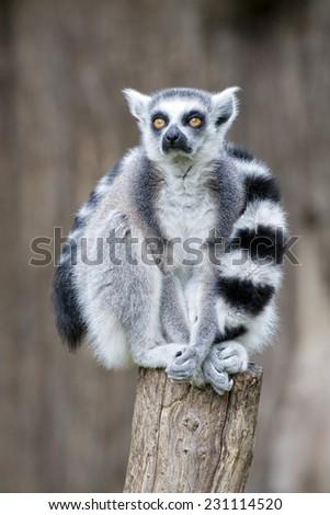 lemur monkey close up portrait - stock photo