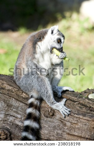 lemur monkey close up portrait while eating red pepper - stock photo