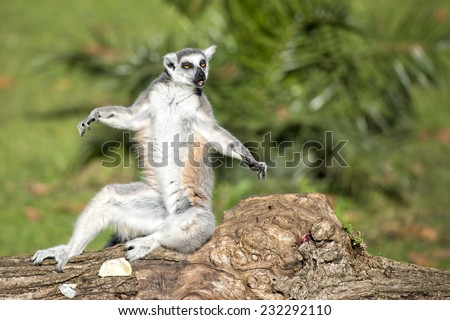 lemur monkey portrait in yoga position - stock photo