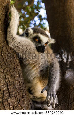 Lemur on the tree , Ring-tailed Lemur (Lemur catta) - stock photo