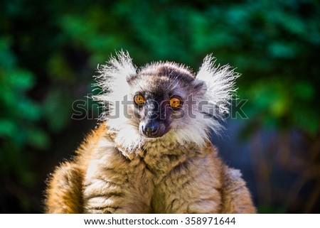 Lemur Red Ruffed - stock photo