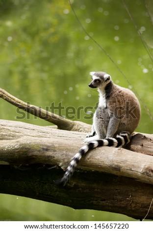Lemur sitting on the tree trunk - stock photo
