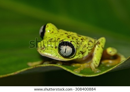 Lemur Tree Frog, this species was almost extinct 10 years ago.  Found at Costa Rican Amphibian Research Center. - stock photo