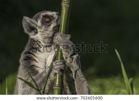 Lemur with striped tail in sunny summer evening