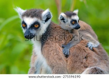 Lemurs of Madagascar - stock photo