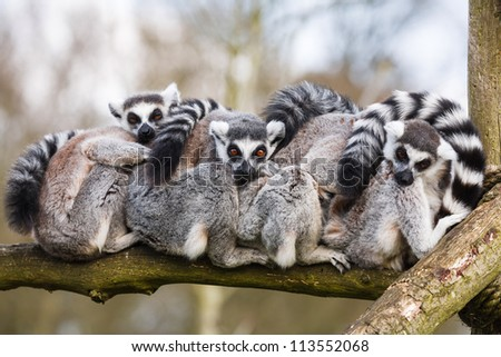 Lemurs sat hugging - stock photo