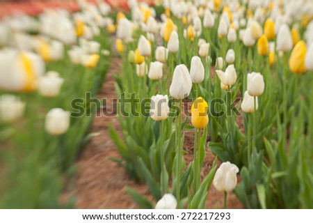 Lensbaby, a selective focus lens was used to capture this image of flowering tulips at a park in the mountains of North Carolina.