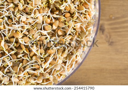 Lentil sprouts in sprouting tray from above. - stock photo