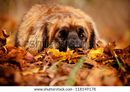 leonberger dog resting on fallen leaves