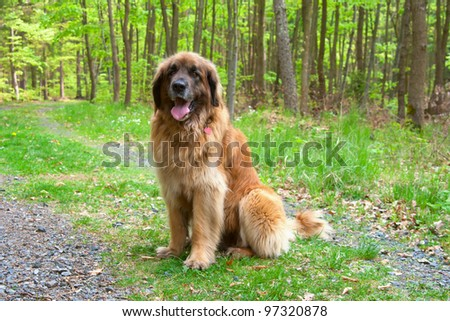 Leonberger dog sitting in forest - stock photo