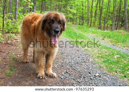 Leonberger dog standing on forest road