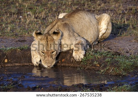 Leone, drinking water in the Masai Mara National Park (Africa) - stock photo