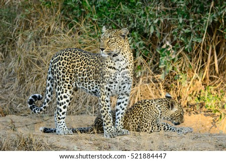 Leopard and Cub, Sabi Sand Game Reserve, South Africa