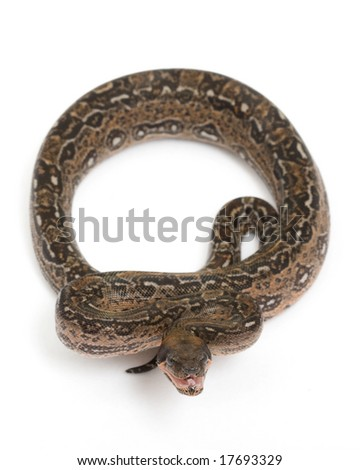 Leopard Argentine Boa (Boa constrictor occidentalis) on white background. - stock photo