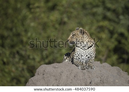 Leopard at Khwai Area of Botswana Africa