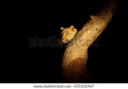 Leopard at Night (Panthera padres)