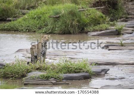 Leopard at the river, Maasai Mara National Reserve, Kenya, Central east Africa - stock photo
