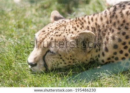 leopard at the zoo - stock photo
