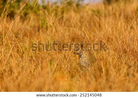 Leopard Bahati sitting in the high golden grass in Masai Mara, Kenya - stock photo
