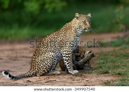 Leopard Bahati with her playing two cubs in Masai Mara, Kenya - stock photo