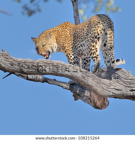 Leopard big spotted cat in tree - stock photo