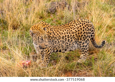 Leopard carries away a piece of meat at the Naankuse Wildlife Sanctuary, Namibia, Africa