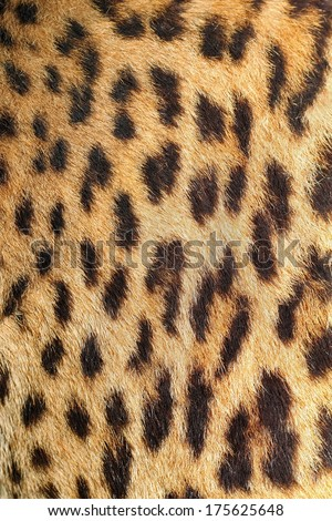 leopard colorful fur real texture dark with spots - stock photo