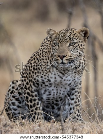 Leopard crouched ready to pounce with golden grassland as background.  Taken in the Masai Mara Kenya.