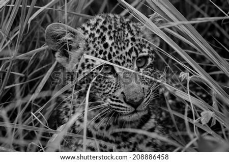 Leopard Cub - stock photo