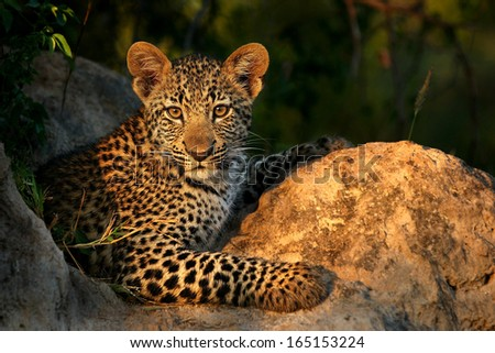 Leopard Cub on Termite Mound - stock photo