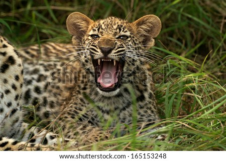 Leopard cub Snarl - stock photo