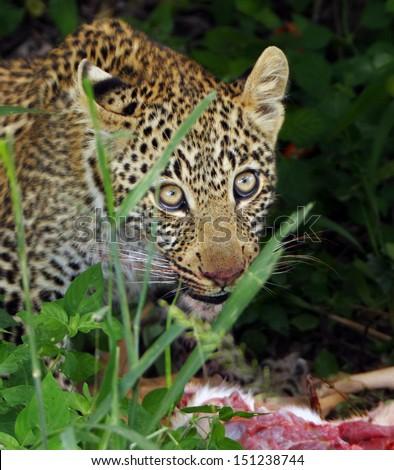 Leopard cub with kill - stock photo