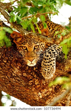 leopard cup in a tree - stock photo