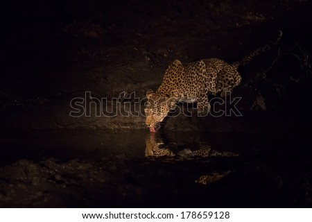 Leopard drinking water at night at a pond in spotlight with reflection - stock photo