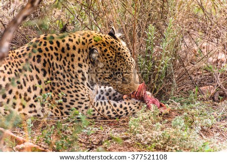 Leopard eats a peace of meat at the Naankuse Wildlife Sanctuary, Namibia, Africa - stock photo