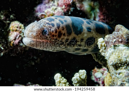 leopard eel mooray portrait while hiding on its reef nest - stock photo