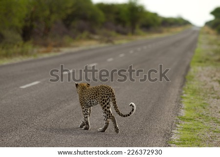 leopard - etosha national park (Namibia) - stock photo