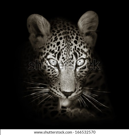 Leopard face close-up in black and white - Panthera pardus - stock photo