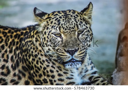 leopard falls asleep wild cat