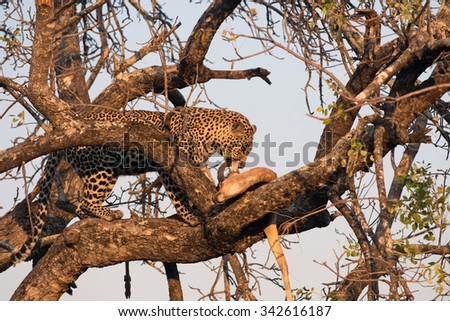 Leopard feeding on an impala in a tree in Sabi Sands Nature Reserve in greater Kruger National Park, South Africa