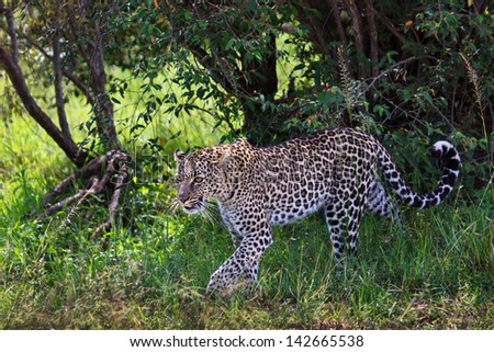 Leopard female, daughter of Leopard Olive, in the bushes on the hunt for an Impala, Masai Mara, Kenya - stock photo